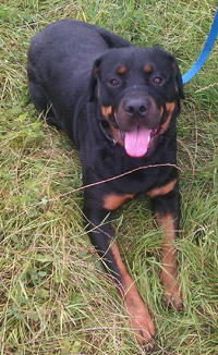 Riley the rottweiler