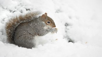 Squirrel standing in the snow © RSPCA