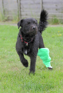 Patterdale terrier Robbie at an RSPCA Centre © RSPCA phototlibrary