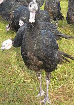 Turkey in a free range system © Kevin Elliker/RSPCA Farm Animals Department