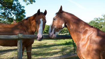 Two horses looking over a fence © RSPCA