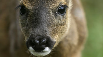 Close up view of a deer face © RSPCA