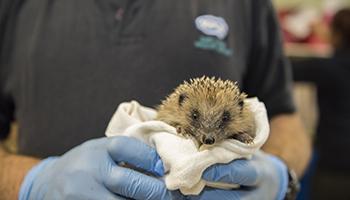 Hedgehog at wildlife centre
