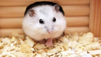 Hamster care - everything you need to know | RSPCA