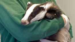 Badger cub recovering at RSPCA West Hatch Wildlife Centre © Joe Murphy / RSPCA Photolibrary