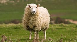 A sheep (ewe) standing in a field © Andrew Forsyth / RSPCA Photolibrary