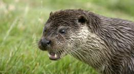 Adult Eurasian otter calling in a field. © Andrew Forsyth/RSPCA Photolibrary