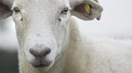 Portrait of a Wiltshire horn sheep © Andrew Forsyth / RSPCA Photolibrary