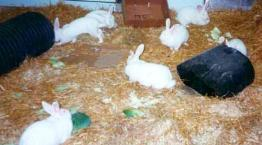 Rabbits in a higher welfare group system © Shirley Seaman
