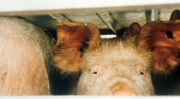 Pigs on a lorry © Andrew Forsyth/RSPCA Photolibrary