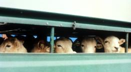 Sheep on a lorry © Andrew Forsyth/RSPCA Photolibrary