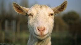 Close-up of a goat © Andrew Forsyth/RSPCA Photolibrary