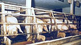 Sows in sow stalls (system is illegal in the UK) © RSPCA Photolibrary