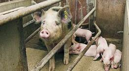 Sow and piglets an a farrowing crate on a European farm © Andrew Forsyth/RSPCA Photolibrary