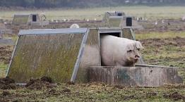 Sow in an outdoor farrowing arc © Andrew Forsyth/RSPCA Photolibrary