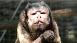 Capuchin monkey © Wild Futures
