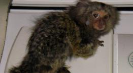 Four month old marmoset Mikey © RSPCA