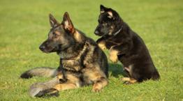 Puppy and adult German shepherds © istockphoto