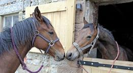 Max and Charmer, horse fostering appeal © Joe Murphy/ RSPCA Photolibrary