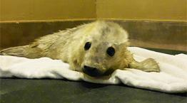 Seal pup at Each Winch Wildlife Centre © RSPCA