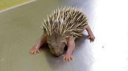 Baby hedgehog being weighed © RSPCA