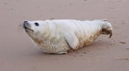 A healthy seal pup on a beach © RSPCA