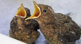 Two baby blackbird fledglings feeding © RSPCA