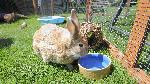Rabbit drinking from water bowl. Copyright RSPCA