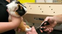 Vet clipping the claws of a guinea pig © Andrew Forsyth / RSPCA Photolibrary