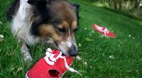 Collie displaying destructive behaviour by chewing on a red shoe © IStock Photo / Darinburt
