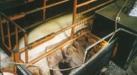 Sow in farrowing crate © Ron Kirkby/RSPCA Photolibrary