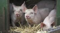 Piglets in arc with straw © Andrew Forsyth/RSPCA Photolibrary