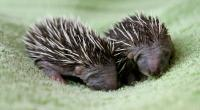 Two hoglets on a blanket. © Andrew Forsyth/RSPCA Photolibrary
