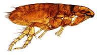 What a flea looks like © IStock Photos / Olikim