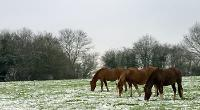 Three Arabian horses standing in a snowy field © Damion Diplock / RSPCA Photolibrary