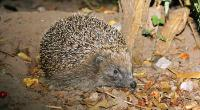 Hedgehog in the wild © Rob Scrivens RSPCA