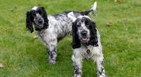Two black-and-white cocker spaniels © istockphoto