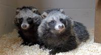 Two raccoon dogs © RSPCA