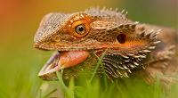 Close up of a bearded dragon © RSPCA