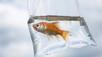 A goldfish in a plastic bag, often given as a prize © iStockphoto