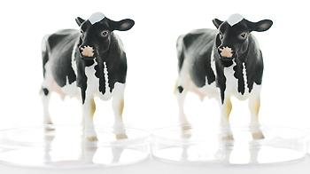Cloning illustration - two toy cows in petri dishes © Andrew Forsyth / RSPCA Photolibrary