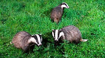 Three adult badgers foraging at night. © Andrew Forsyth/RSPCA Photolibrary