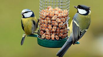Great and Blue Tit at garden feeder. © iStock