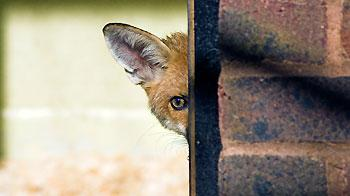 Fox cub peeping out from behind a wall at an RSPCA centre. © Andrew Forsyth/RSPCA Photolibrary