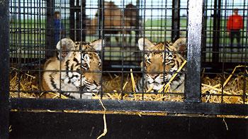 Two circus tigers lying in cage. © Captive Animals' Protection Society www.captiveanimals.org