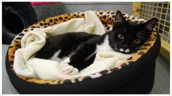 Black and white cat resting in a cat bed © Leigh Hyland / RSPCA Australia