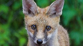 Fox cub recovering at RSPCA Stapeley Grange Wildlife Centre © Andrew Forsyth / RSPCA Photolibrary