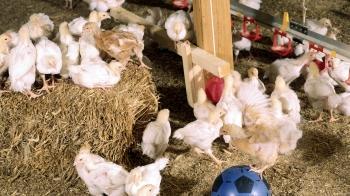 Freedom Food indoor chickens © Freedom Food