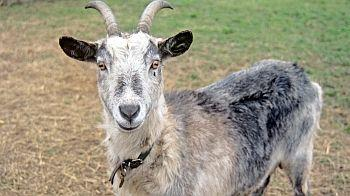 Goat at an RSPCA animal centre © Andrew Forsyth/RSPCA Photolibrary