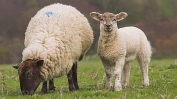 Ewe and lamb standing in a field © Andrew Forsyth / RSPCA Photolibrary